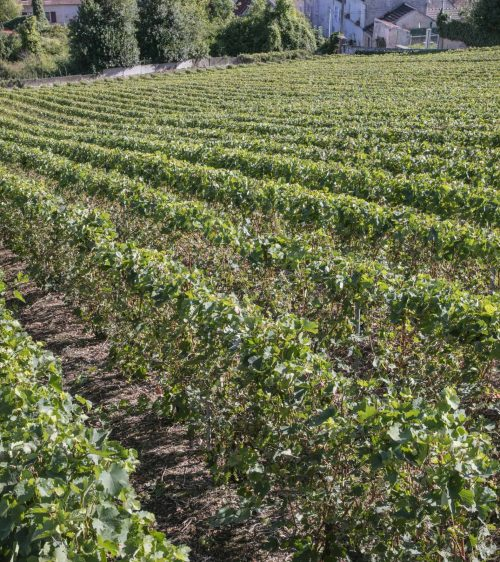 Vignes-Champagne-Bombart-Saacy-sur-Marne-01-07-18