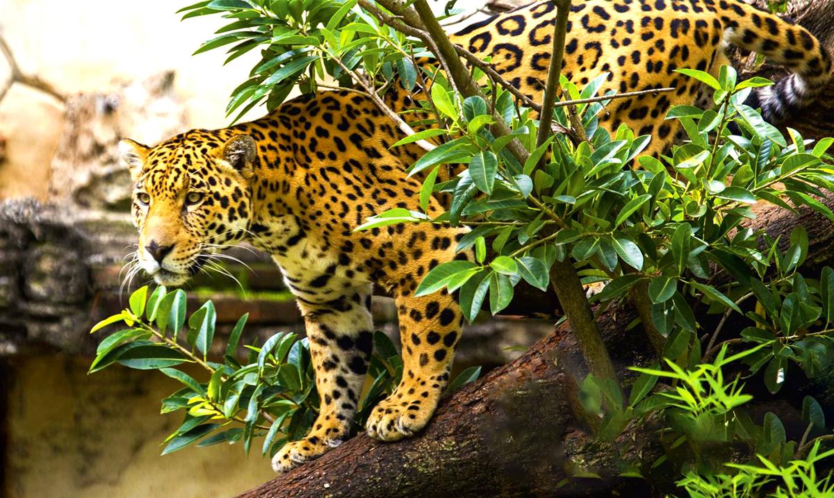 jaguar V3