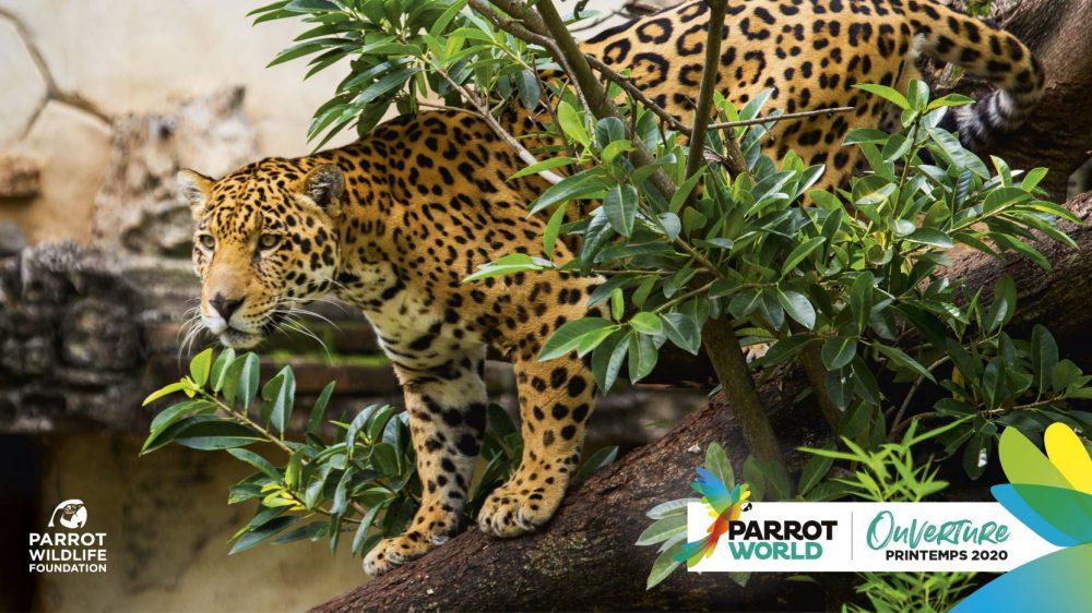 PARROT-WOLRD_Jaguar