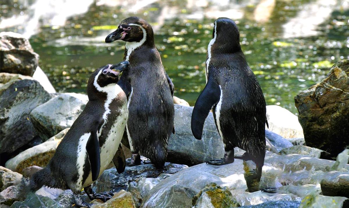 Pingouins V4